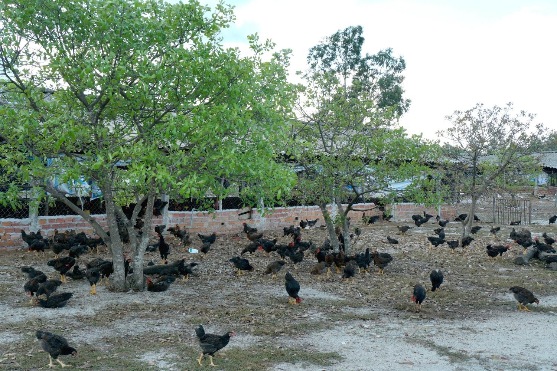 Mô hình nuôi gà thả vườn của HTX chăn nuôi gà ta Mười Tín.